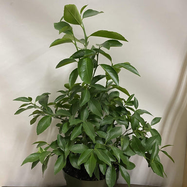 "Urban Sprouts Plant 6"" in nursery pot Citrus 'Lemon - Meyer'"