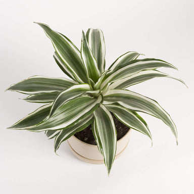 "Urban Sprouts Plant 6"" in nursery pot Dragon Tree 'White Bird'"