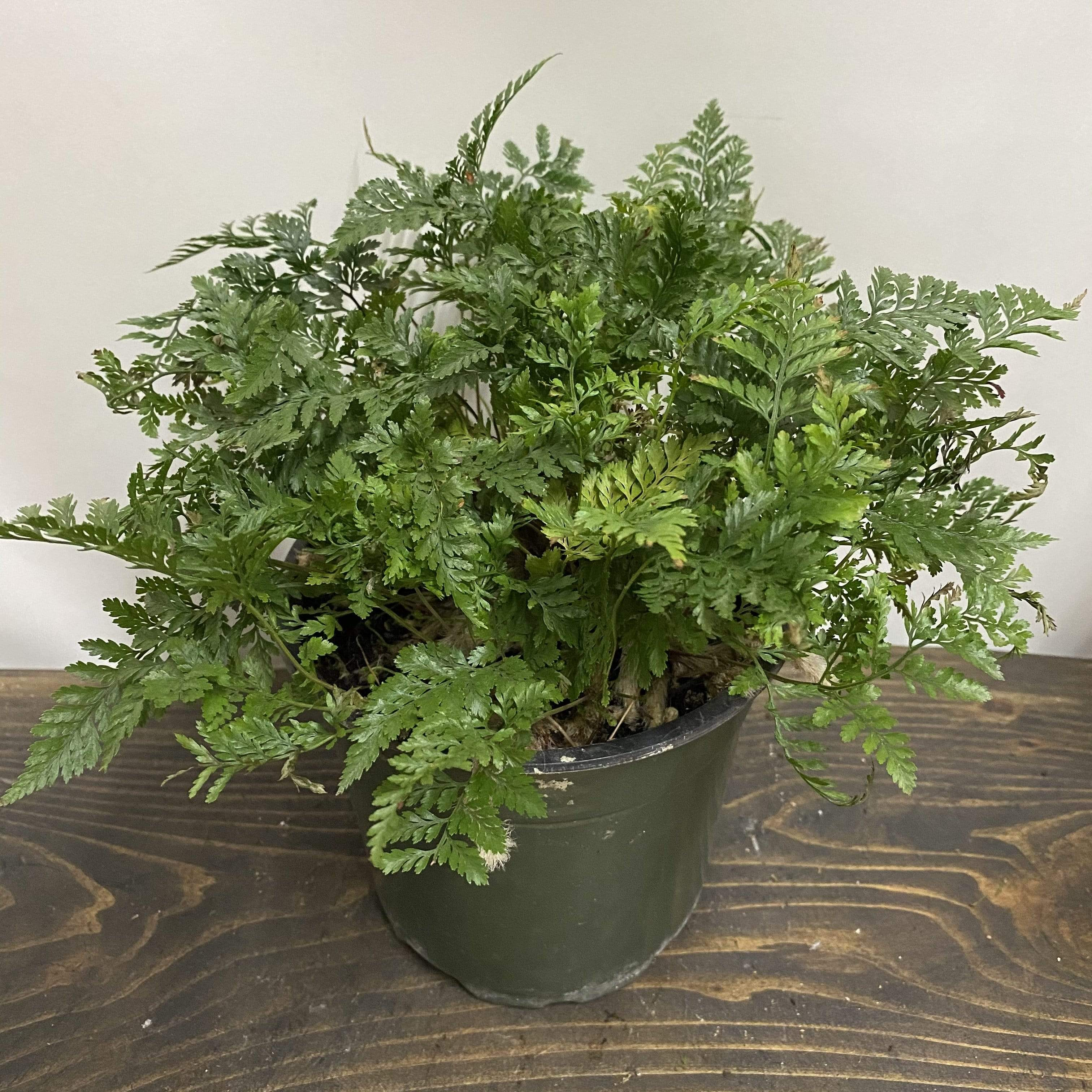 Fern 'White Rabbit Foot' - Urban Sprouts