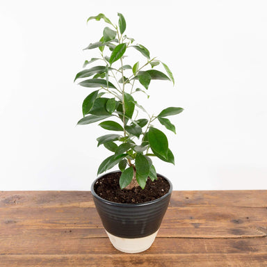 Ficus 'Ginseng' - Urban Sprouts
