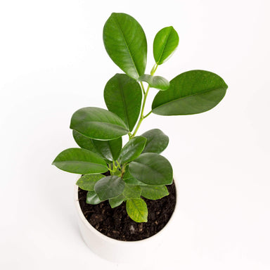 "Urban Sprouts Plant 6"" in nursery pot Ficus 'Moclame'"