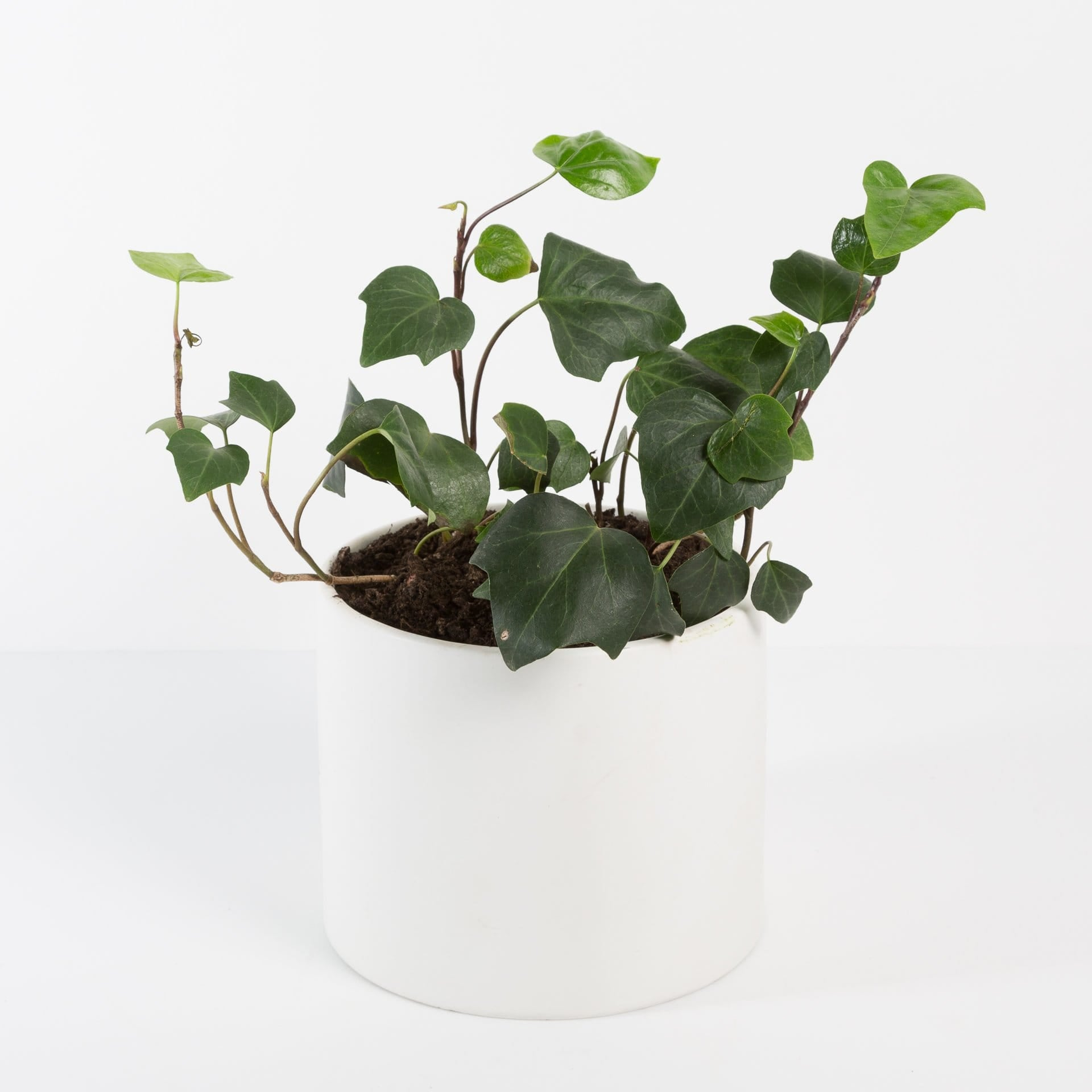 "Urban Sprouts Plant 6""  in nursery pot Ivy 'Algerian'"