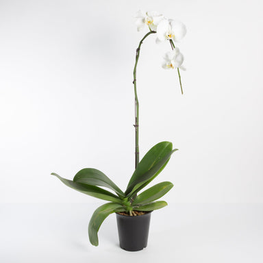 "Urban Sprouts Plant 6"" in nursery pot Orchid 'Moth - Phalaenopsis'"