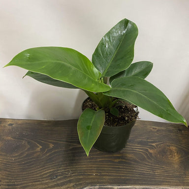Philodendron 'Imperial Green' - Urban Sprouts
