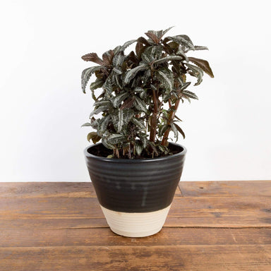 "Pilea 'Silver Tree' 6"" - Urban Sprouts"