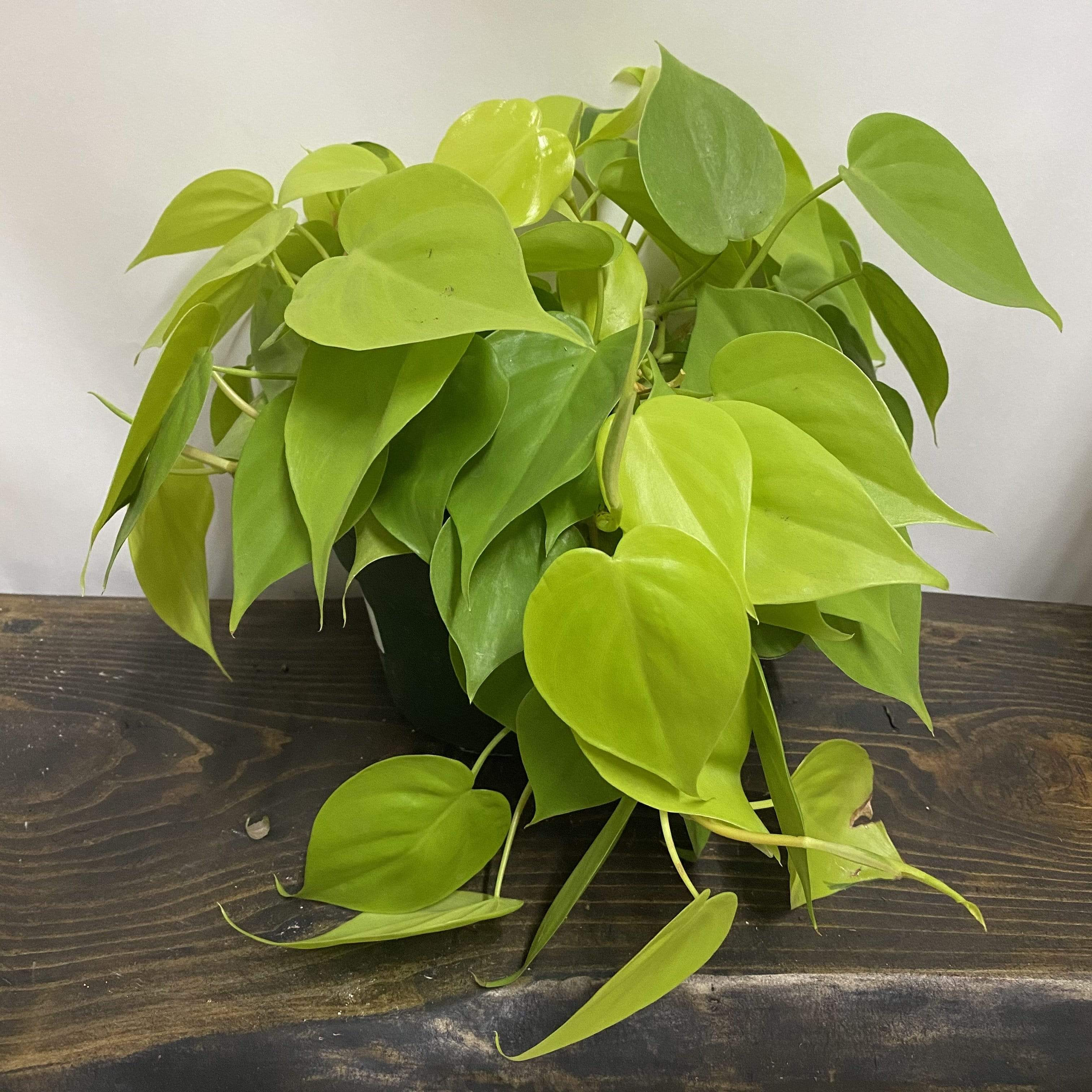 Pothos 'Lemon Lime' - Urban Sprouts