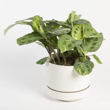 "Urban Sprouts Plant 6"" in nursery pot Prayer Plant 'Variegated'"