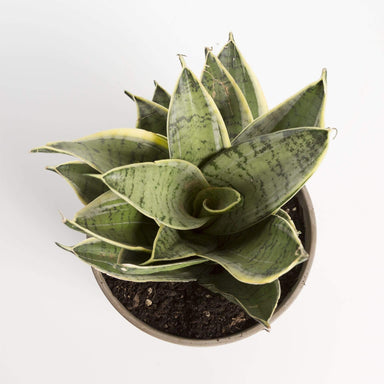Snake Plant 'Birds Nest - Silver Hahnii' - Urban Sprouts