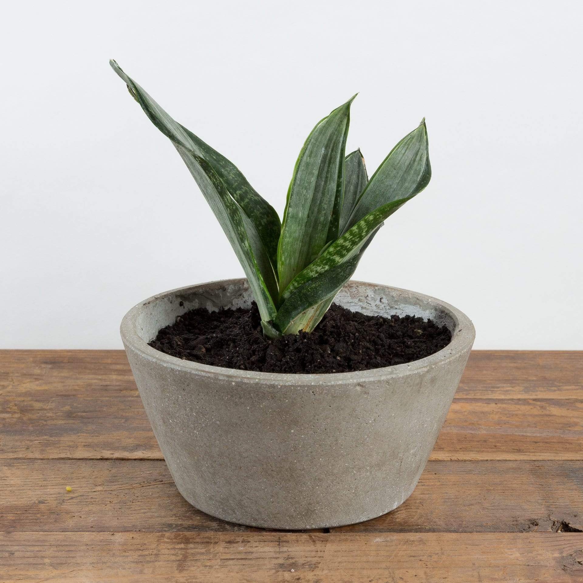 Snake Plant 'Singers Silver' - Urban Sprouts