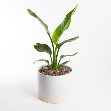 "Urban Sprouts Plant 8"" in nursery pot Bird of Paradise 'Orange'"