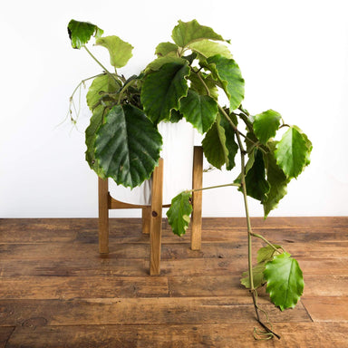 "Chestnut Vine 8"" - Urban Sprouts"