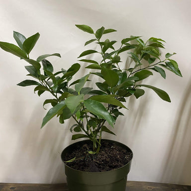 "Urban Sprouts Plant 8"" in nursery pot Citrus 'Key Lime and Meyer Lemon combo'"