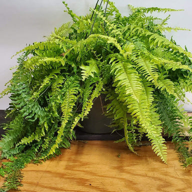 Fern 'Boston - Tiger' - Urban Sprouts