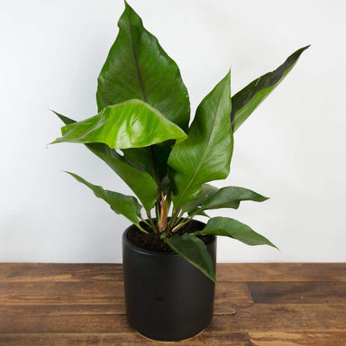 "Flamingo Flower 'Water Dragon' 8"" - Urban Sprouts"