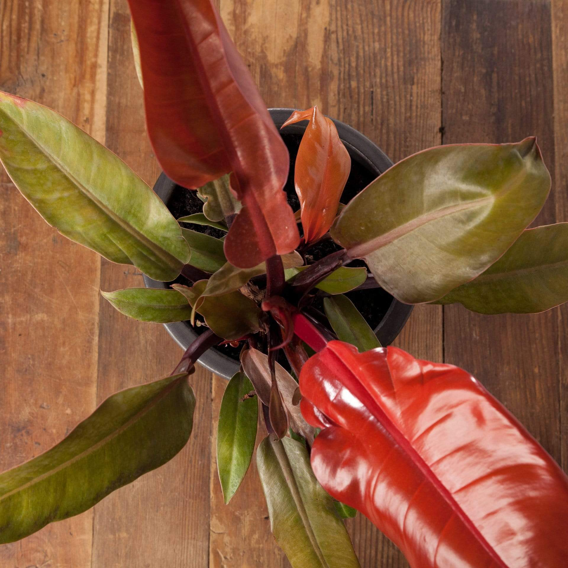 Philodendron 'Autumn' - Urban Sprouts