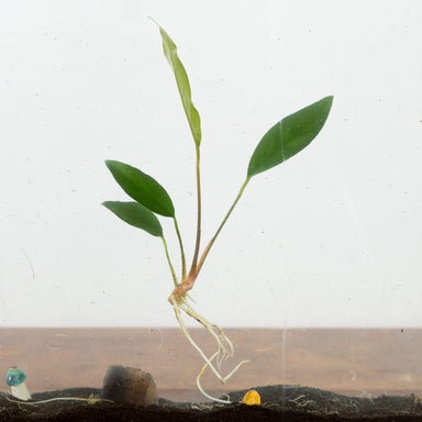 Anubias Congensis - Urban Sprouts