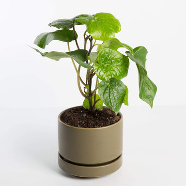 Urban Sprouts Plant Black Pepper Plant