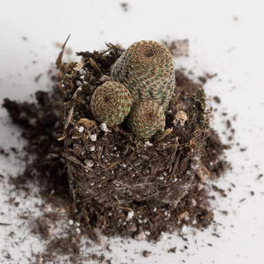 Urban Sprouts Plant Cactus 'Lace Hedgehog'