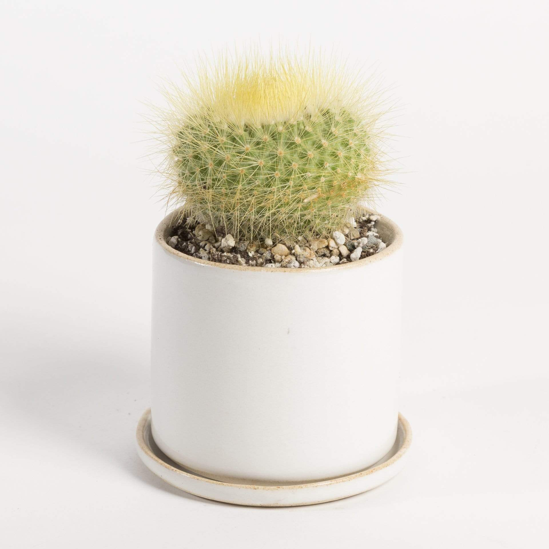 Urban Sprouts Plant Cactus 'Lemon Ball'