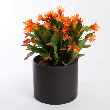 Urban Sprouts Plant Cactus 'Spring'