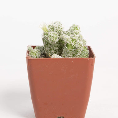 Urban Sprouts Plant Cactus 'Thimble'