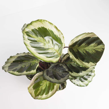 Urban Sprouts Plant Calathea 'Shining Star'