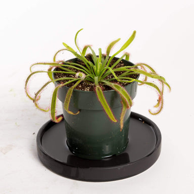 Urban Sprouts Plant Carnivorous 'Cape Sundew'