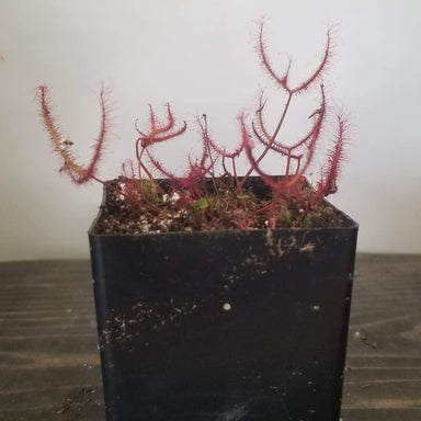 Urban Sprouts Plant Carnivorous 'Fork-leaved Sundew - Dichotoma'