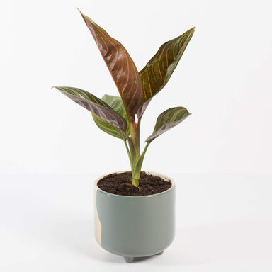 Urban Sprouts Plant Chinese Evergreen 'Chocolate'