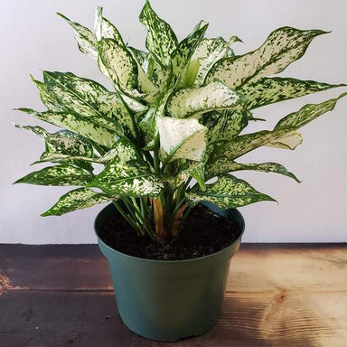 Chinese Evergreen 'First Diamond' - Urban Sprouts