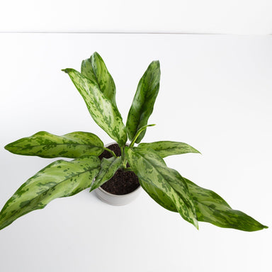 Urban Sprouts Plant Chinese Evergreen 'Romeo'