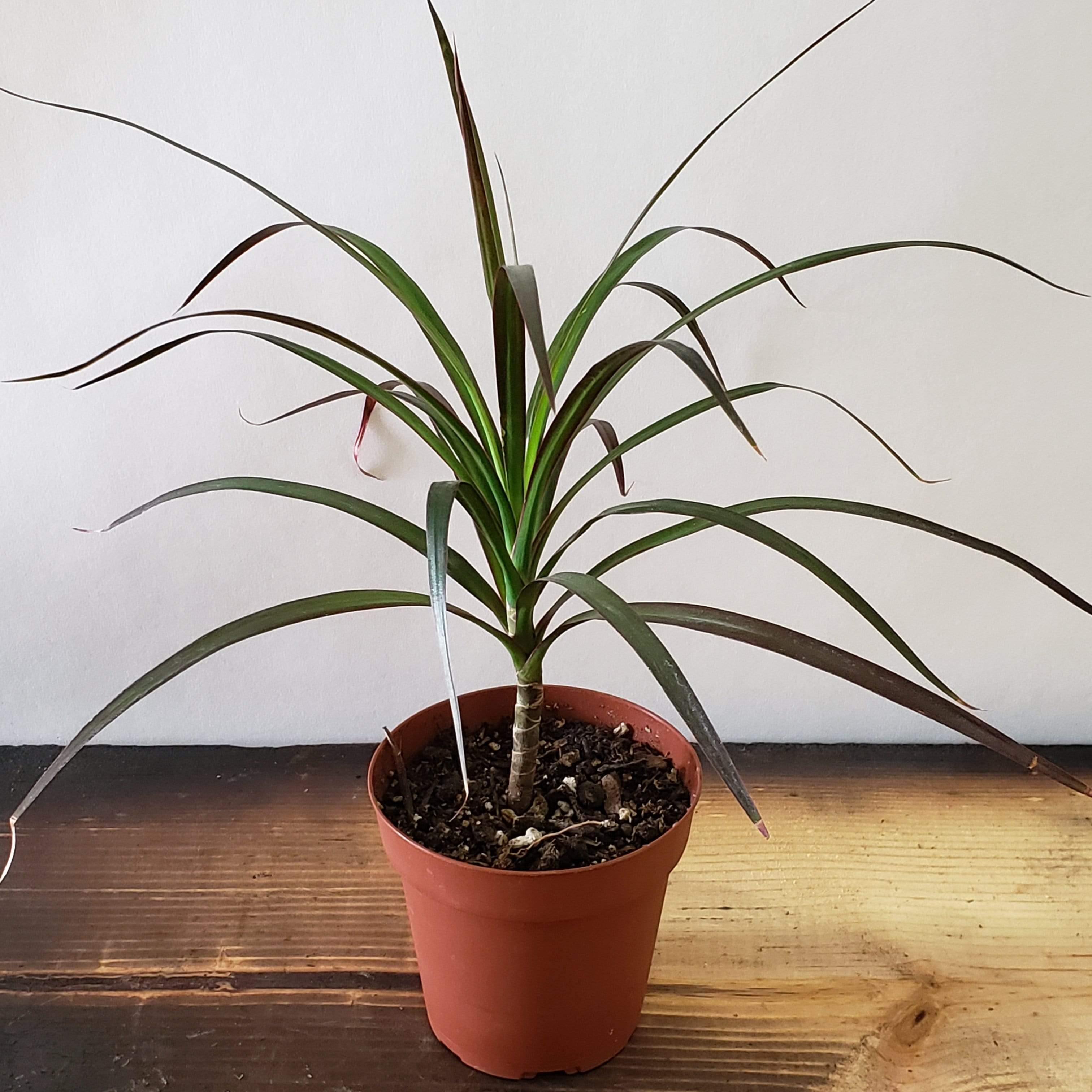 "Dragon Tree 'Madagascar' 4"" - Urban Sprouts"