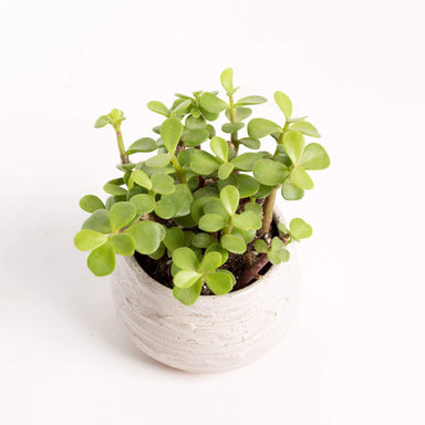 Urban Sprouts Plant Elephant Bush 'Mini Jade'