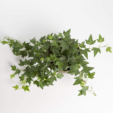 English Ivy 'Needlepoint' - Urban Sprouts