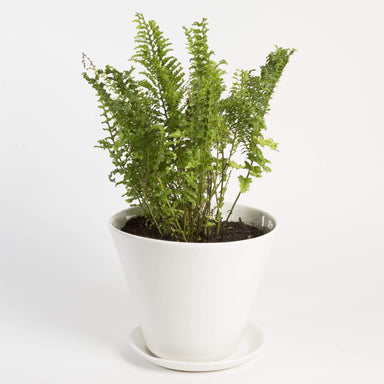 Urban Sprouts Plant Fern 'Boston - Fluffy Ruffles'