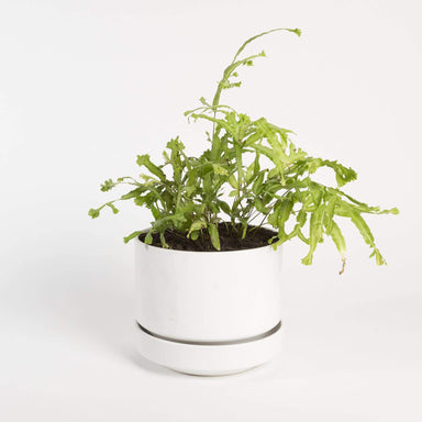 Urban Sprouts Plant Fern 'Moonlight'