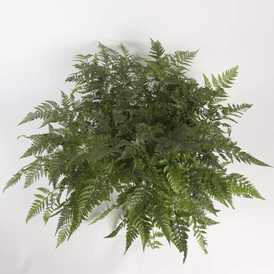 Urban Sprouts Plant Fern 'White Rabbit Foot'