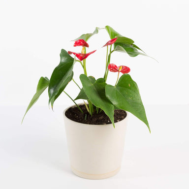 Urban Sprouts Plant Flamingo Flowers
