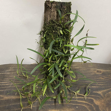 Urban Sprouts Plant Mounted Orchid 'Bulbophyllum sp (India)'