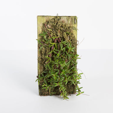 Urban Sprouts Plant Mounted Orchid 'Mediocalcar Decoratum'