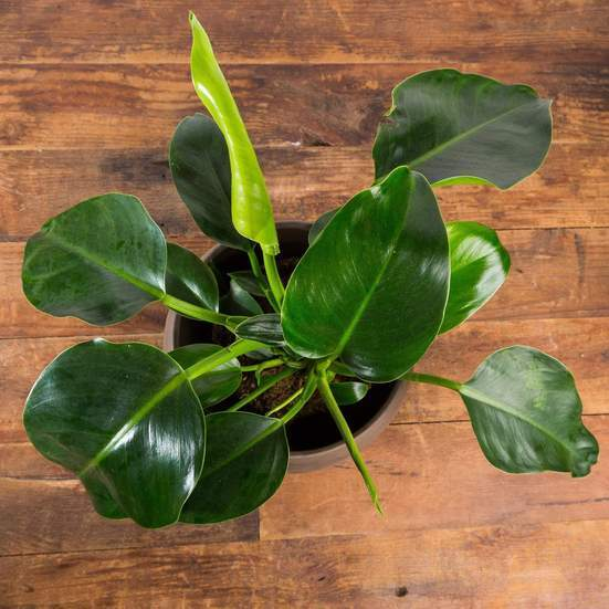 Philodendron 'Green Congo' - Urban Sprouts
