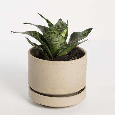 Snake Plant 'Birds Nest' - Urban Sprouts