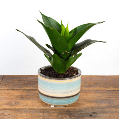 Snake Plant 'Black Dragon' - Urban Sprouts