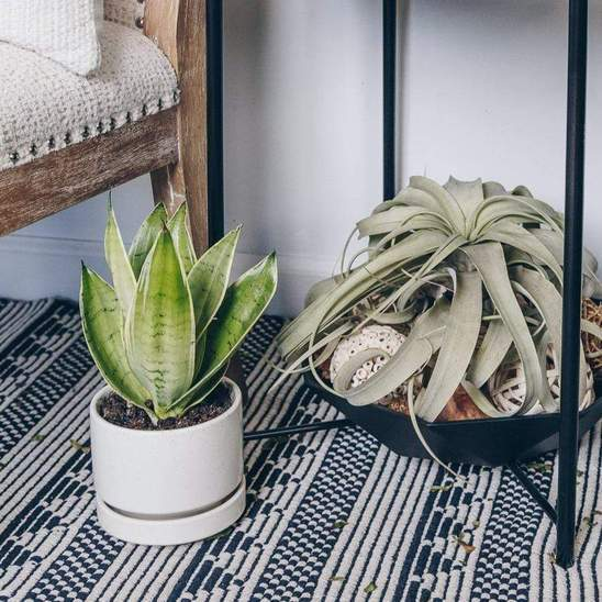 Snake Plant 'Night Owl' - Urban Sprouts
