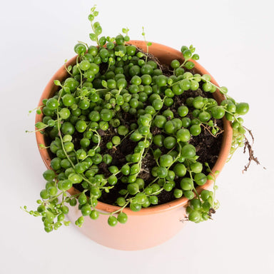 Urban Sprouts Plant Succulent 'String Of Pearls'
