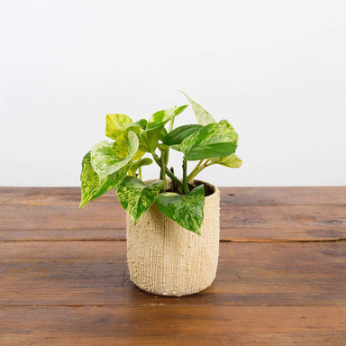 "Cream Brush Stroke Planter 3.5"" - Urban Sprouts"