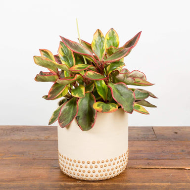 Cream Studded Skirt Planter - Urban Sprouts