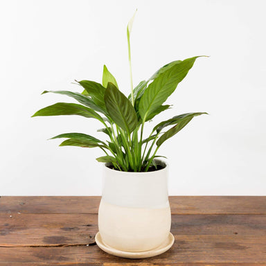 "Cream Vase Planter 4"" - Urban Sprouts"