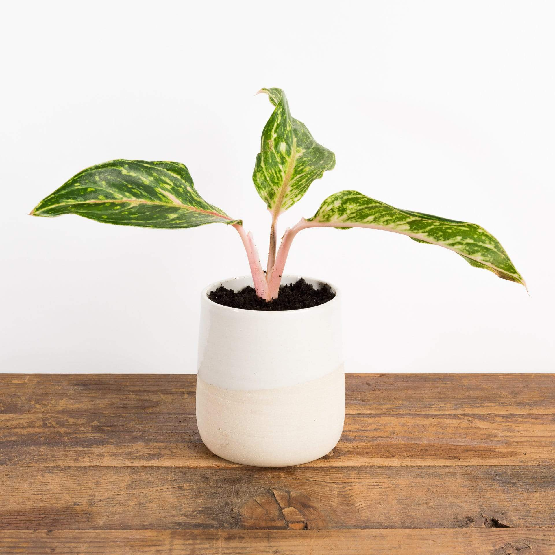 Vanilla Honey Pot Planter - Urban Sprouts