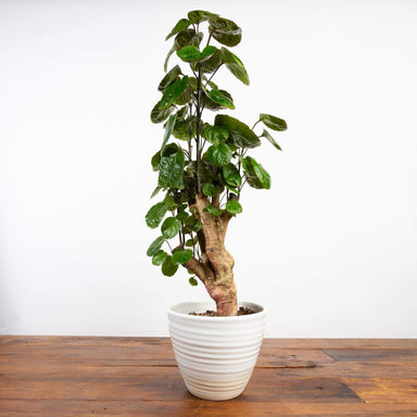 "Aralia 'Dinner Plate' 6"" - Urban Sprouts"